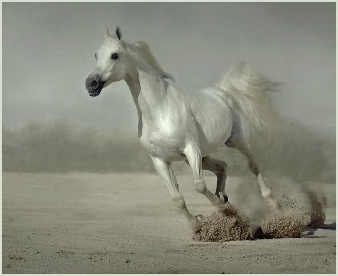 الحصان العربي الاصيل والحصان البربري 0ad8ddcbc6c8f08bae03ea681e0ce578.jpg